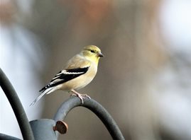 Goldfinch,American_1