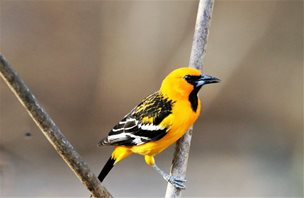 Streak-backed-Oriole-(3)