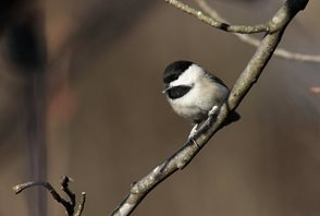 Chickadee,-Black-capped