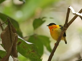 Orange-collared-Manakin-(3)