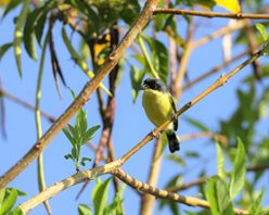 Tody-Flycatcher