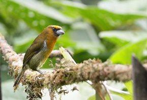 Prong-billed-Barbet-(1)