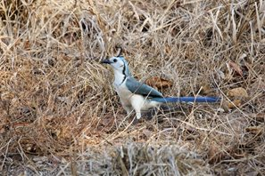 White-throated-Magpie-jay