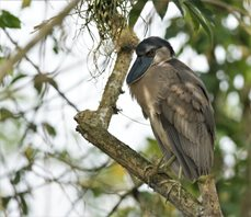 Boat-billed-Heron-(2)
