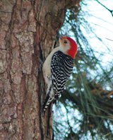 Redbellied-woodpecker-(1)