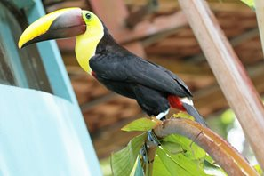Black-mandibled-Toucan