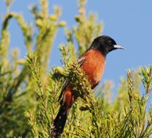 Orchard-oriole-(4)
