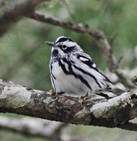 Black-and-white-warbler-(13)