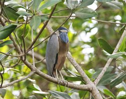 Boat-billed-Heron