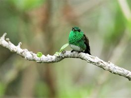Snowy-bellied-Hummingbird-(1)