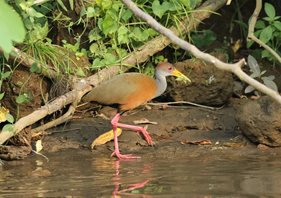 Red-naped-Wood-rail-(2)
