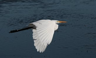Egret,-Great-(2)