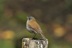 Black-billed-nightingale-Thrush