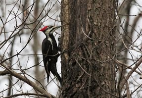 Woodpecker,-Pileated