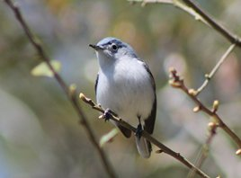 Bluegray-gnatcatcher-(3)
