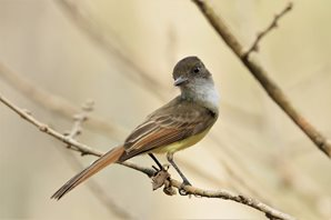 Dusky-capped-Flycatcher-(1)