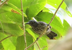 Black-hooded-Antshrike
