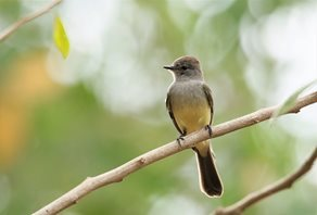 Panama-Flycatcher